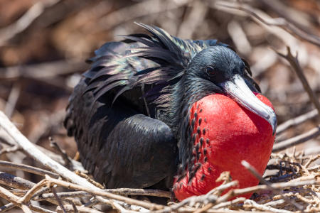 Male great frigate bird